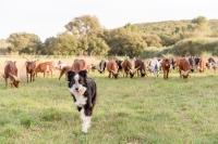 Border-chien-de-travail-chèvrerie-des-garrigues-reportage-photo-pro-Occitanie